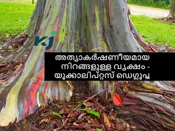 അത്യാകർഷണീയമായ നിറങ്ങളും മണവും കൊണ്ട് ആരേയും വശീകരിക്കുന്ന  വൃക്ഷം - യൂക്കാലിപ്റ്റസ് ഡെഗ്ലൂപ്ത (Eucalyptus Deglupta)