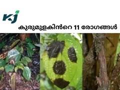കുരുമുളക് കൃഷി ചെയ്യുമ്പോൾ ശ്രദ്ധിക്കേണ്ട കാര്യങ്ങൾ: കുരുമുളകിൻറെ 11 രോഗങ്ങളും , നിയന്ത്രണ രീതികളും
