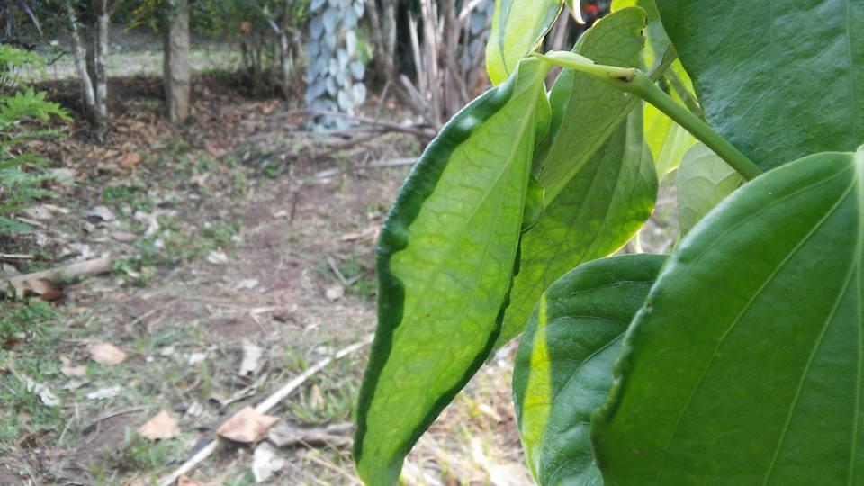 pepper disease
