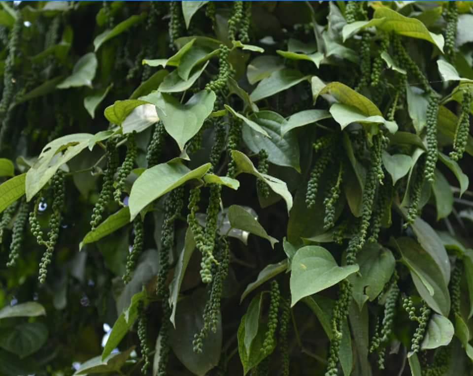 pepper thevam