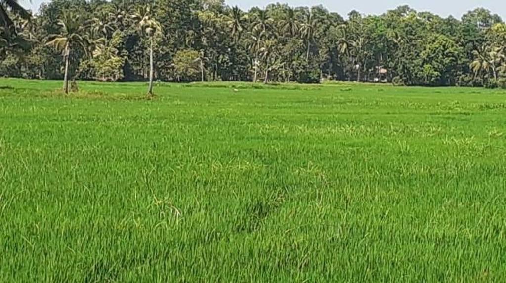 Alapuzha paddy field