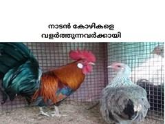നാടൻ കോഴികളെ വളർത്തി വരുമാനം നേടാവുന്നതാണ് - country, desi, indigineous chicken