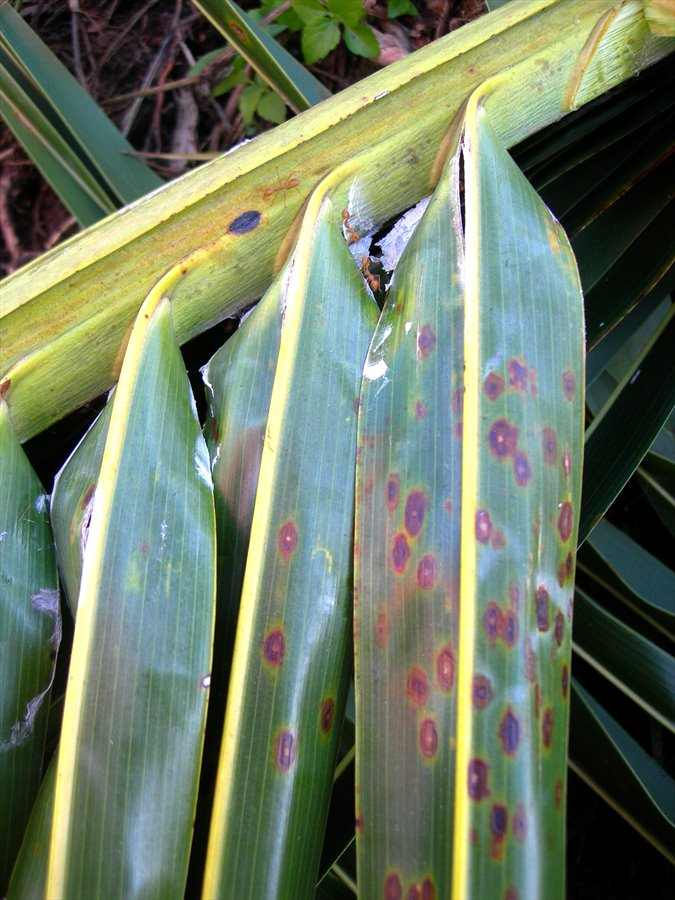 Coconut fungal diseases