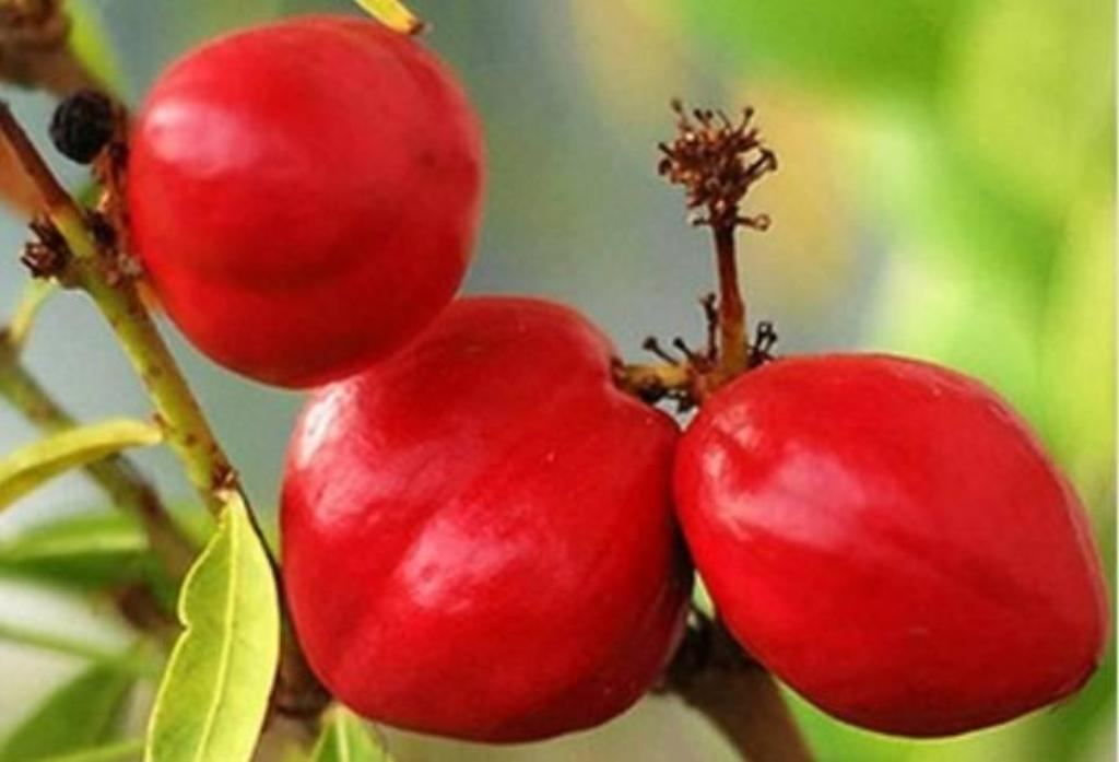 Makottadeva fruit