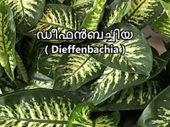 ഡീഫന്ബച്ചിയ  ശ്രദ്ധിച്ചു വളര്ത്തേണ്ട അലങ്കാരച്ചെടി . ഗുണങ്ങളേറെ , ദോഷങ്ങളും