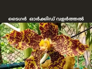 ഗിന്നസ് ബുക്കിൽ ഇടം പിടിച്ചിട്ടുള്ള ടൈഗർ ഓർക്കിഡ് - Tiger orchids (Grammatophyllum speciosum),large and resplendent flowers #krishijagran #agriculture #farming #farmer