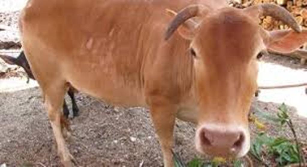 cheruvalli cow