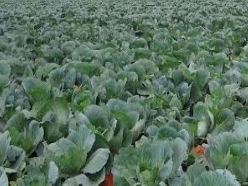 Cauli flower farming