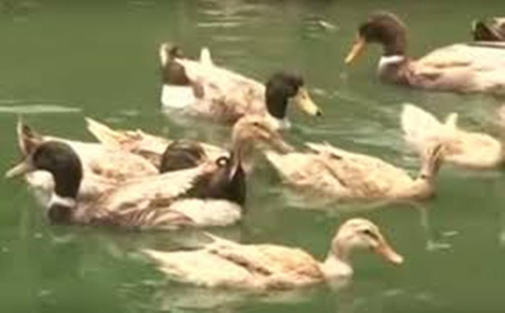 kuttanadan ducks