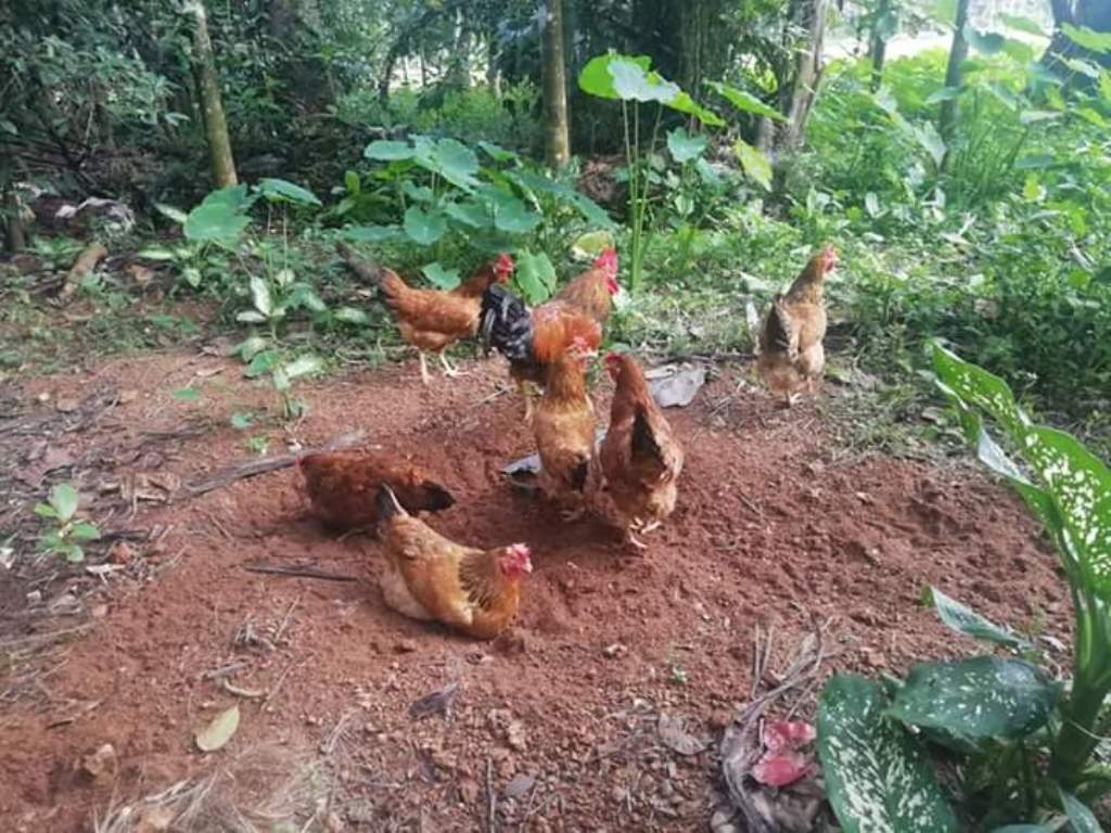 Native chickens bathing in the soil