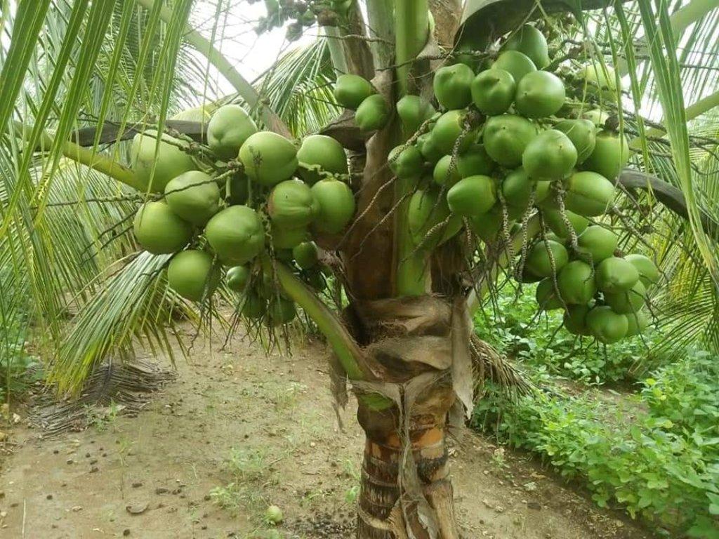 maleshyan coconut