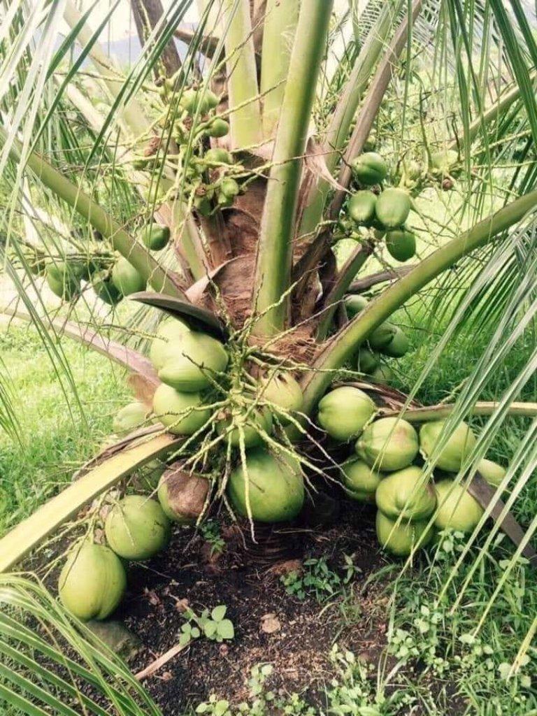 kullan coconut