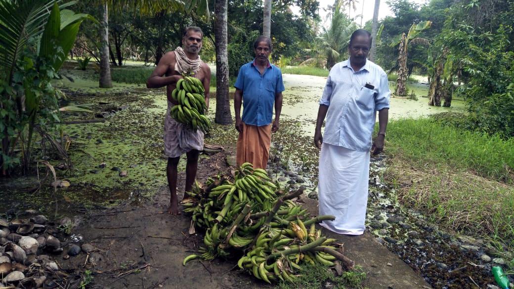One lakh bananas were destroyed in Vechoor
