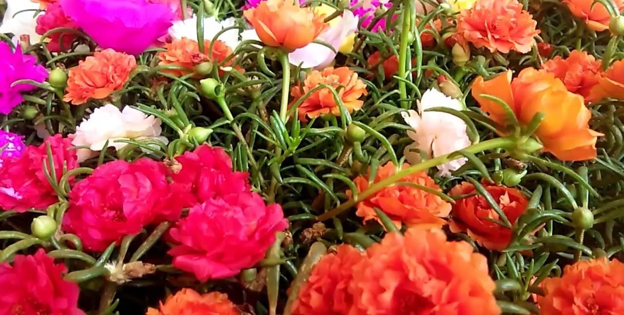 Ten o'clock flowers