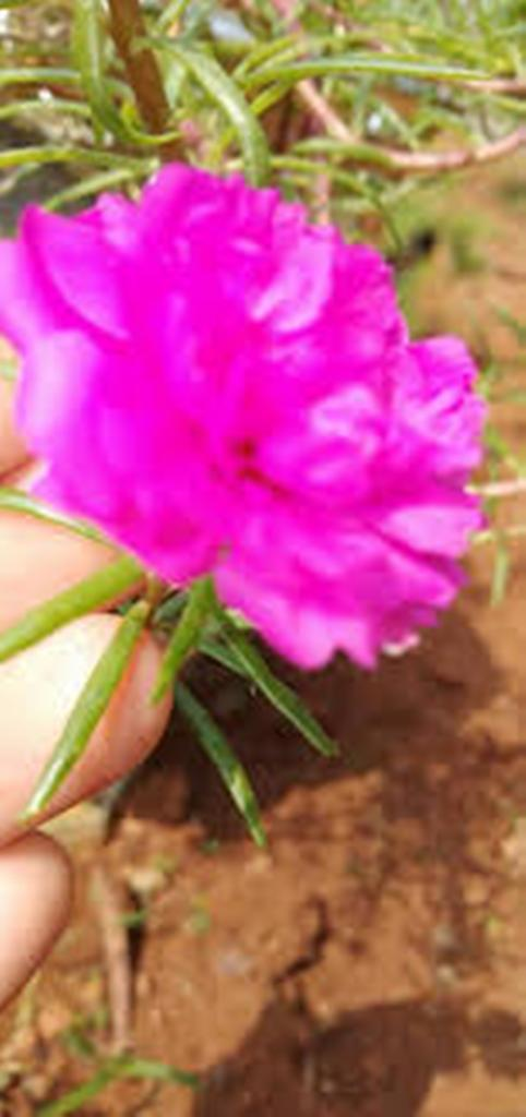 Ten o'clock flower