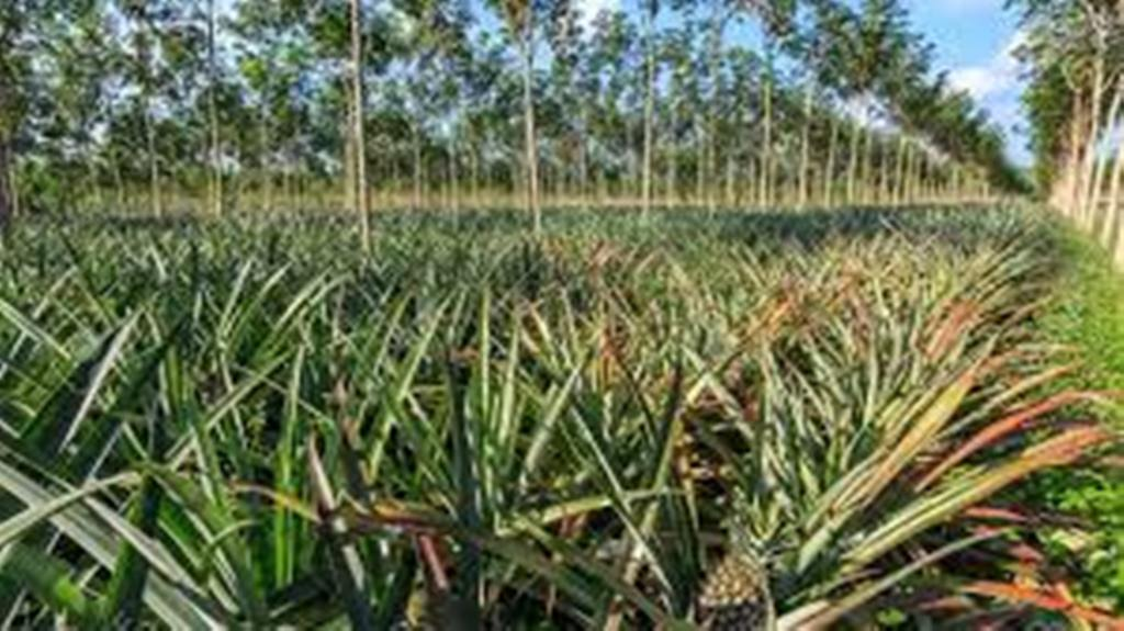 intercropping in rubber plantations