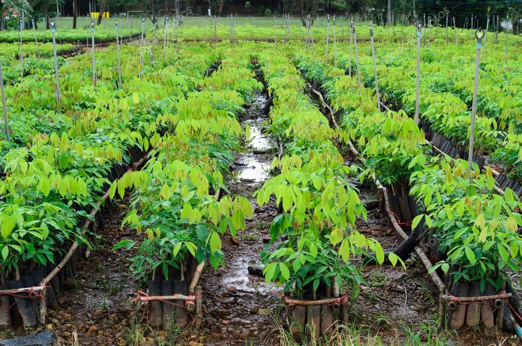 Seedlings of rubber