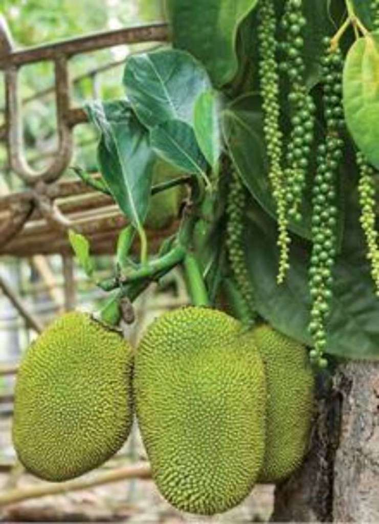 koozha jack fruit tree with pepper