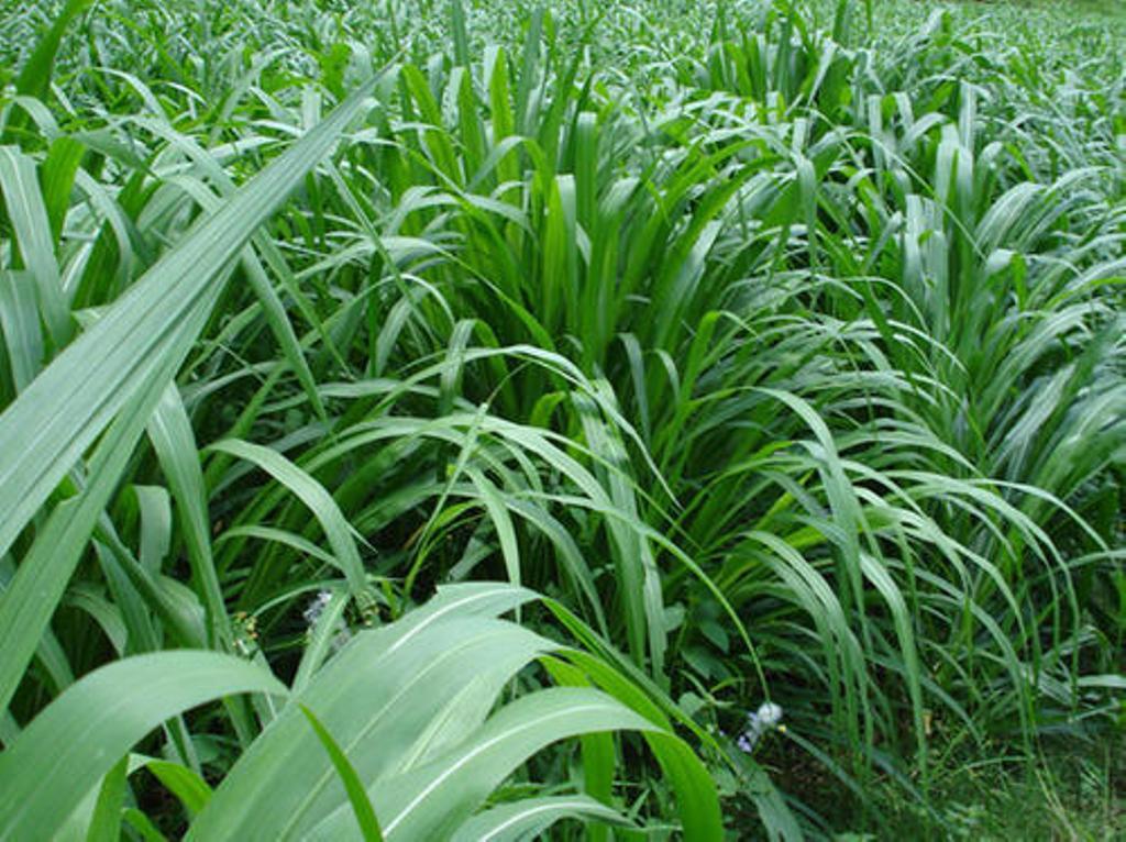 Fodder grass