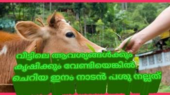 നാടൻ പശുക്കൾ എങ്കിൽ കപില പശുKapila cow- native cows