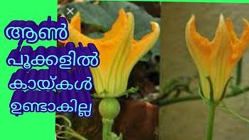 മത്തങ്ങയുടെ എല്ലാ പൂക്കളും കായാകുമോ ?pumpkin flower