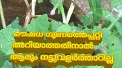 ഇത് മുയൽ ചെവിയൻ - കള സസ്യമല്ല, ഔഷച്ചെടിയാണ് .Muyalcheviyan-  a medicinal plant
