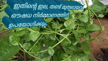 ഔഷധച്ചീര  അഥവാ ബസല്ല (malabar-spinach)