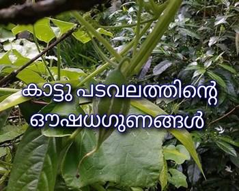 നാട്ടിൻപുറത്തെ ഔഷധസസ്യങ്ങളിൽ പ്രധാനി -കാട്ടുപടവലം