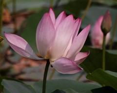 താമര കൃഷി ചെയ്യാം - പൂന്തോട്ടം മാനഹാരമാക്കാനും , വരുമാനത്തിനും