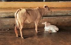 പെൺ പശുക്കൾ അല്ലെങ്കിൽ എരുമകൾ മാത്രം ജനിക്കുന്ന സാങ്കേതികവിദ്യ സർക്കാർ സബ്സിഡിയോടെ