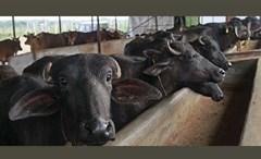 മൃഗസംരക്ഷണ ക്ഷീരവികസന മേഖലയിൽ നഷ്ടപരിഹാരത്തിന് നടപടി: മന്ത്രി