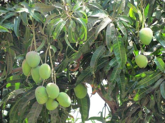 mango variety