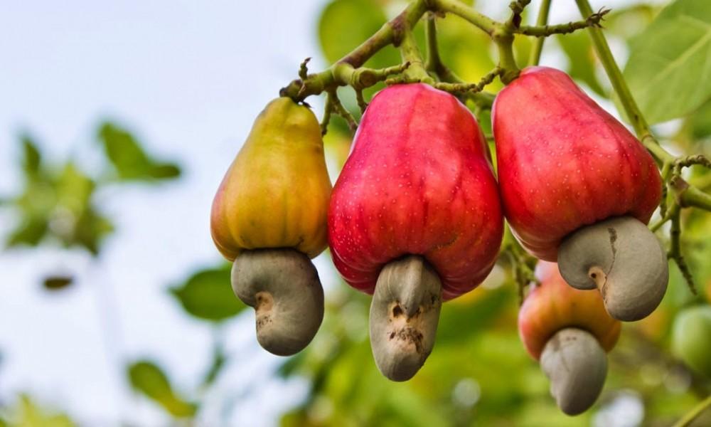cashewnut tree