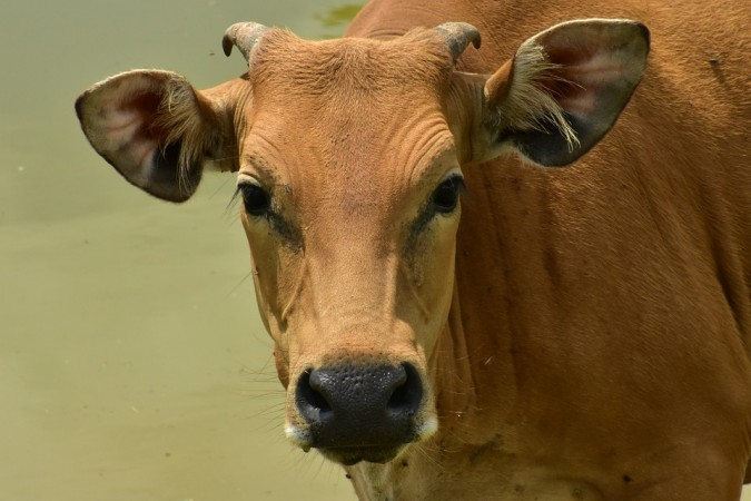 donate a cow