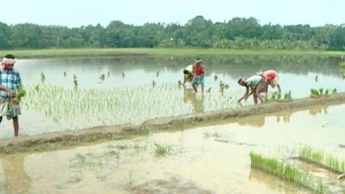 paddy farming at Irimbiliyam