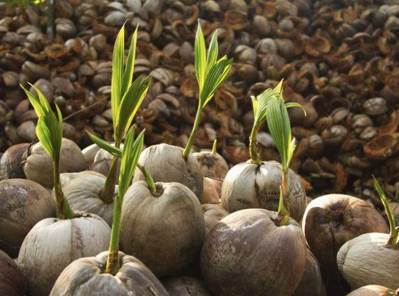 seed nut