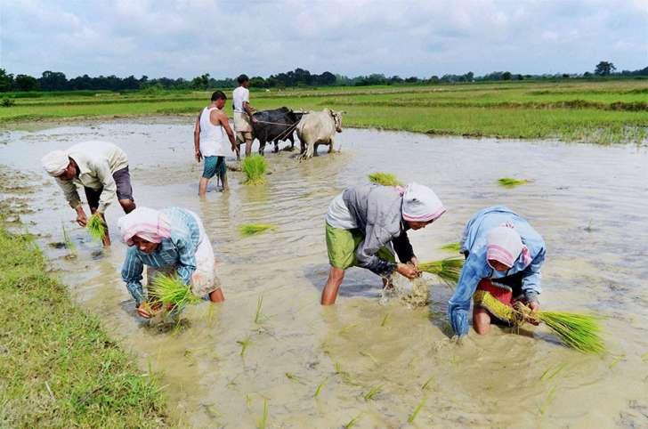 farming at Mambra field