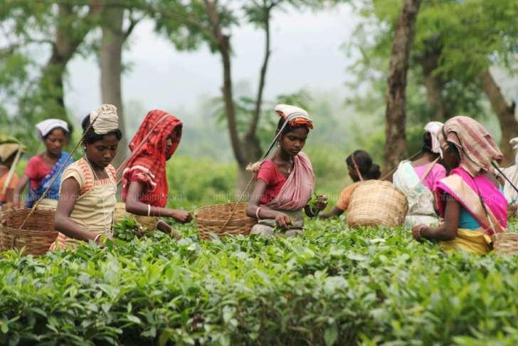 plantation sector