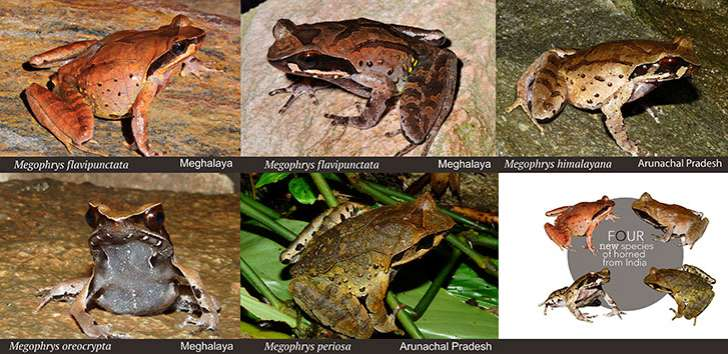 Frogs found in Himalayan region