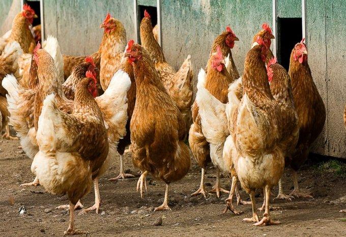 omega chicken