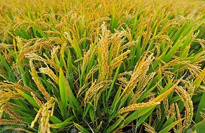 paddy yield
