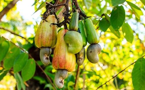 cashewnut disease