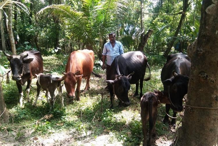 cattle kerala flood