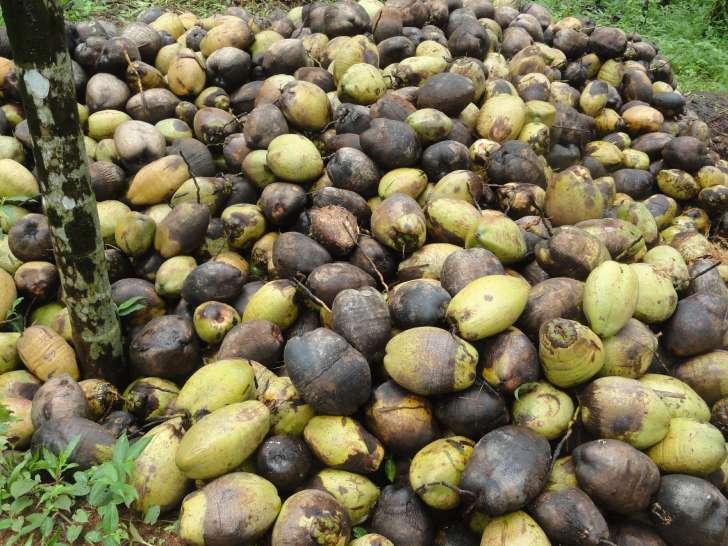 coconut procurement