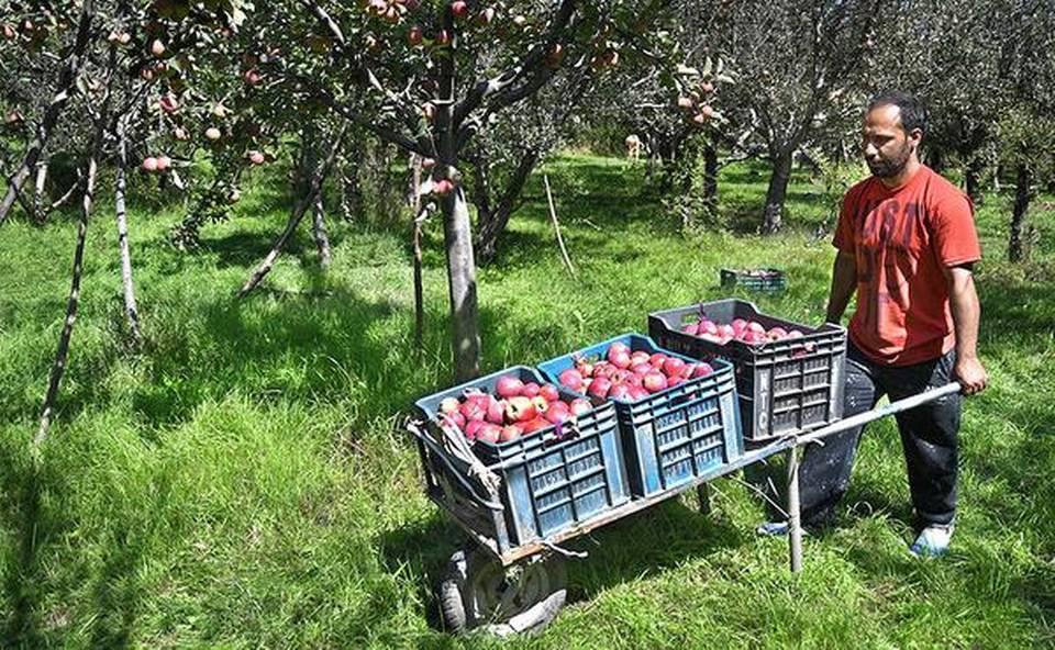 apple farmers in Kashmir