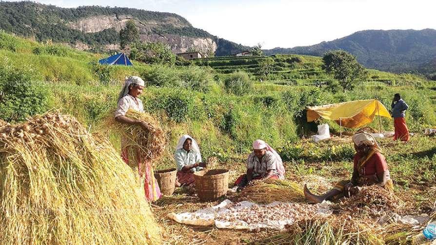 Garlic harvesting at Vattavila