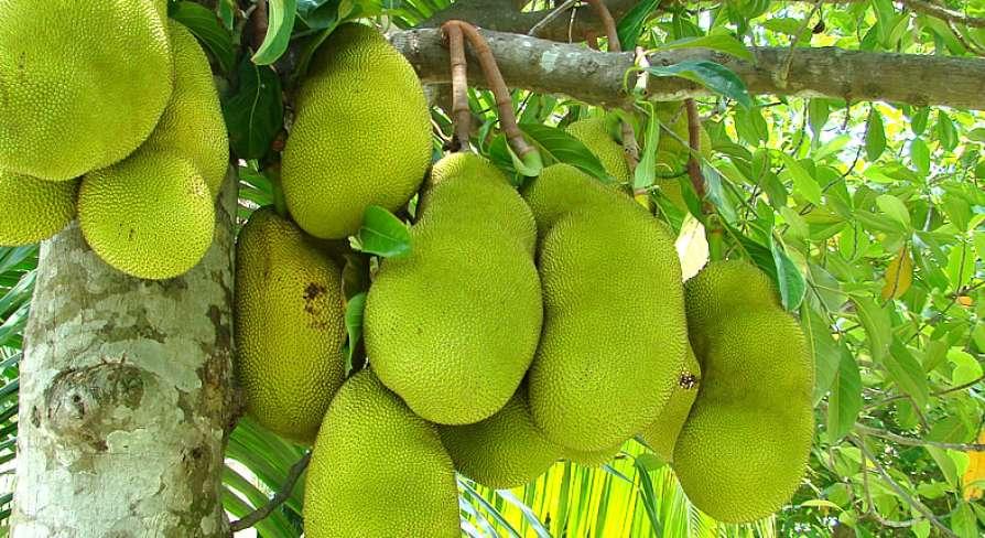 jackfruit varieties