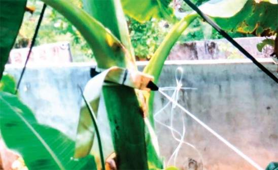 belt for plantain