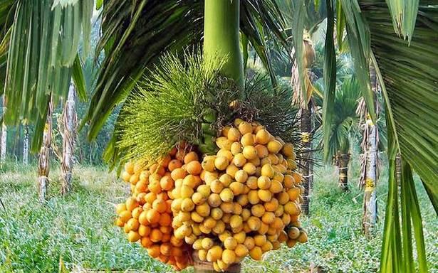 Arecanut tree