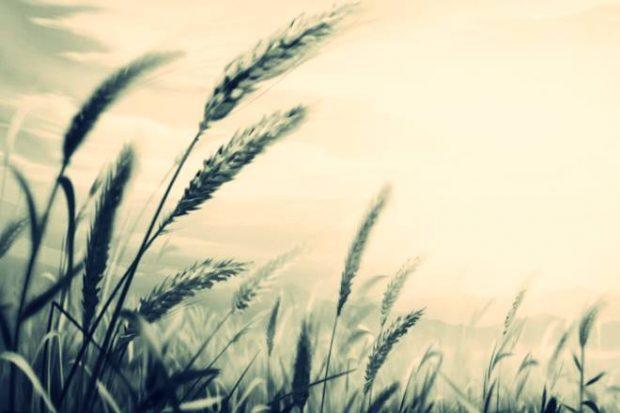 coloured wheat